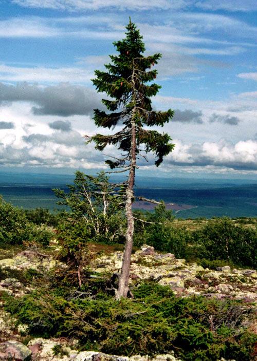 Old Tjikko tree image