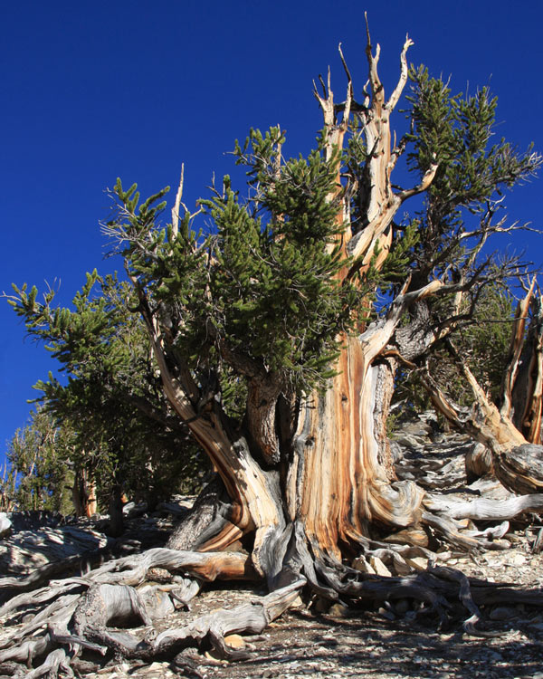 Unnamed Great Basin Bristlecone Pine tree image