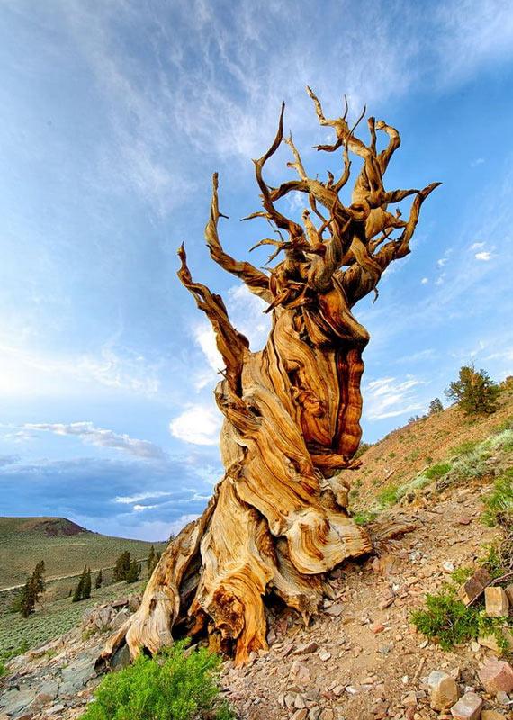 Methuselah tree image