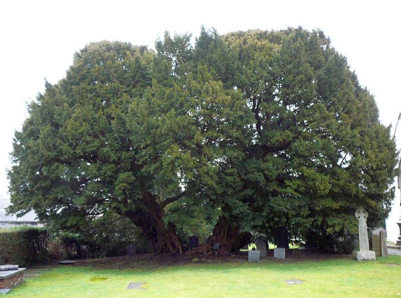 Llangernyw Yew tree image